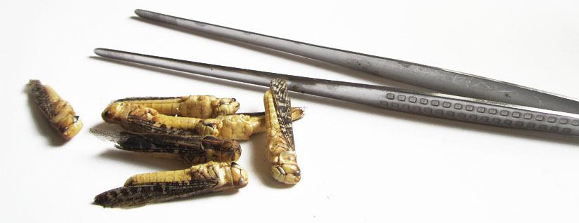 Tipps Pinzette essbare Insekten als Nahrungsmittel Im Shop bestellen