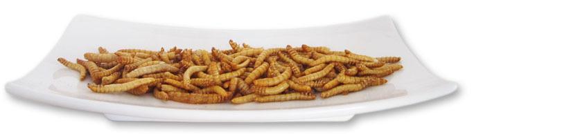 Essbare Insekten Mehlwürmer zum Verzehr im Shop bestellen und kaufen
