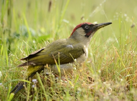 Green_Woodpecker_2