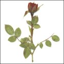 Dark Red Rosebuds with leaves