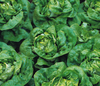 Lettuce Buttercrunch (butterhead)