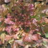 Lettuce Mix red/green salad bowl (looseleaf)