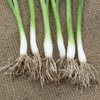 Spring Onion Guardsman F1