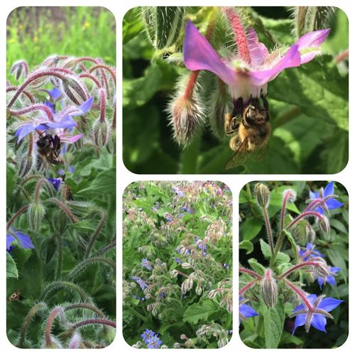 Borretsch Borago officinalis