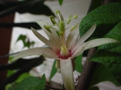 Passiflora 'Adularia'