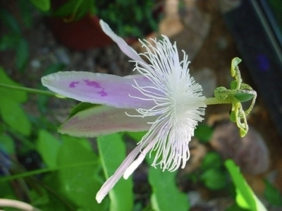 Passiflora 'Angelface'