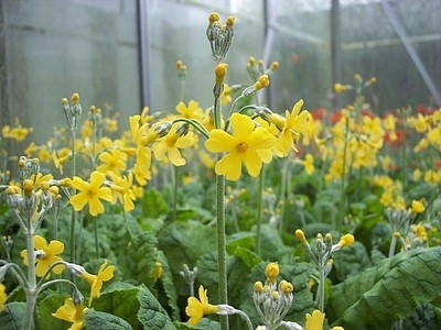 Primula cockburniana (yellow Form)