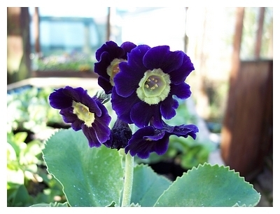 Primula X pubescens Blue Wave