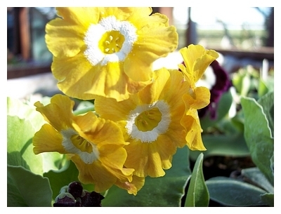 Auricula Old Irish Scented