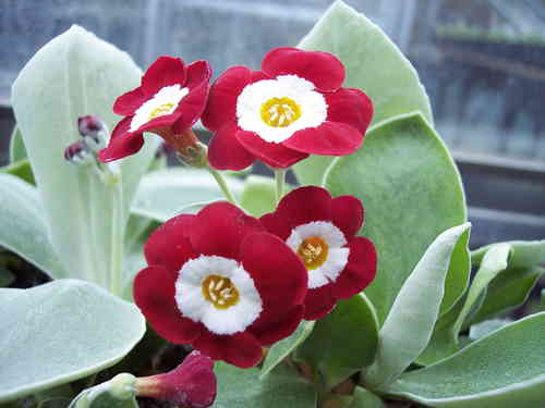 Auricula Simply Red