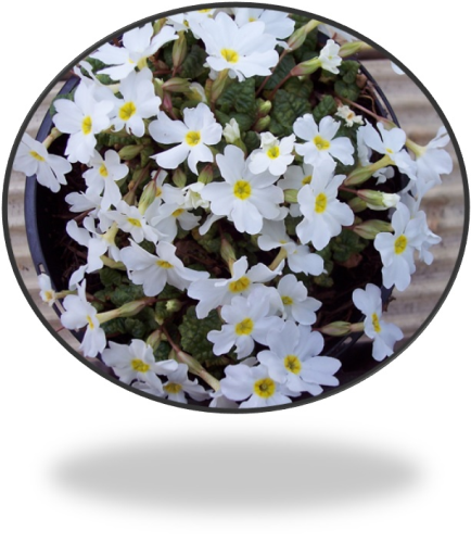 Primula Snow Cushion