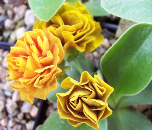 Auricula Burnished Gold