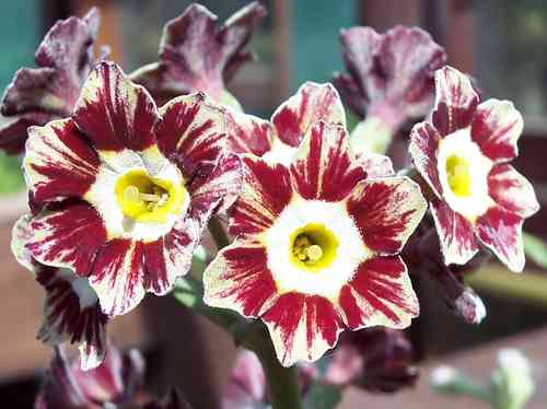 Auricula Pen Red Stripe