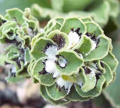 Auricula Fiddlers Green