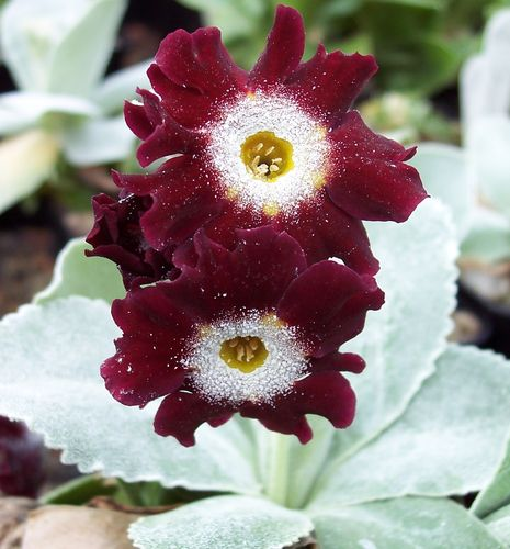 Auricula Old Red Dusty Miller