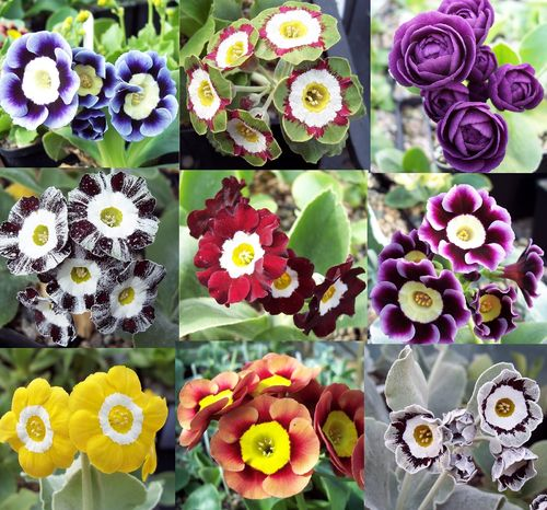 Auricula starter collection, 9 varieties, plus printed labels