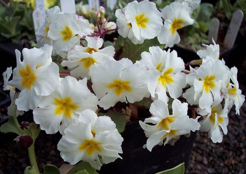 Primula Mount Juliet