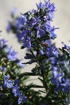 Rosemary Blue Lagoon -  1 x 9cm potted plant