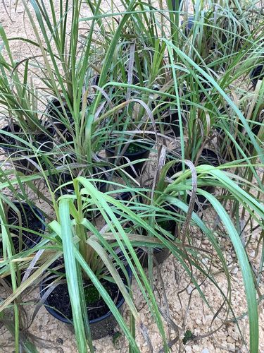 Pampas Grass (Cortaderia White Feather) -  1 x 1 litre potted plant